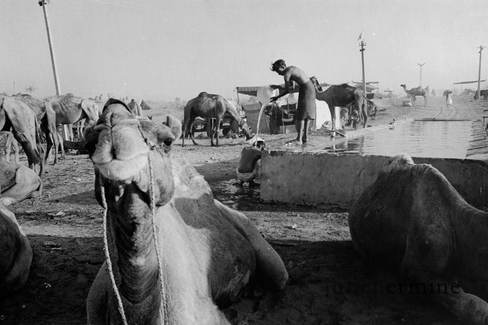 Dans le desert du Rajasthan, l'eau sert aussi bien de salle de bain pour les hommes que d'abreuvoir pour les bêtes.
